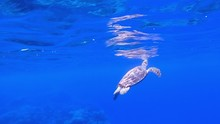 Sea Turtle Breathing At Water ...
