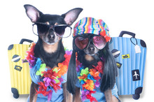 Stylish Couple Of Fancy Dogs A...