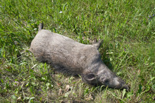 A Large Wild Dead Boar Lies On The Grass Near The Road.
