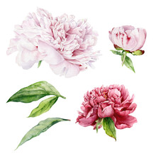 Set Of Flowers, Buds And Leaves Of Peony. Light Pink And Bright Red Flowers And Peony Buds Painted In Watercolor On A White Background.