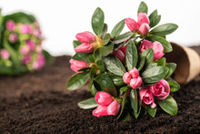 Potted Rhododendron Flower On ...