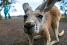A Close Up Photo Of A Baby Kangaroo (Joey) Taken In New South Wales, Australia