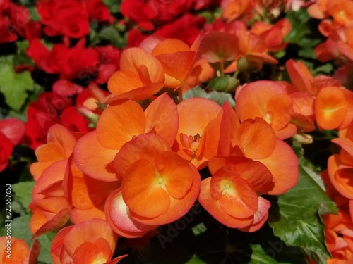 Orange color of Rieger Begonia flower blooming in the Spring