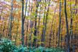 ブナの多い森 北海道添別ブナ林