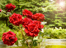 Bright Red Roses On A Bush In ...
