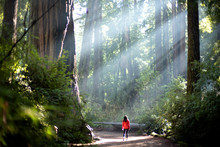 Light Sunlight Through Redwood...