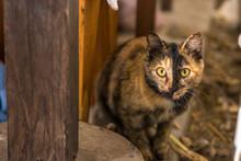 Tortoiseshell Female Tortie Kitten Hiding In Barn