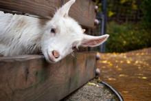 Cute Little Goat In Rainny Day.