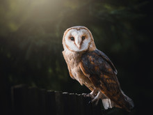 Barn Owl (Tyto Alba) Sitting On Wooden Fence. Dark Background. Barn Owl Portrait. Owl Sitting On Fence.