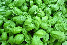 Cultivated Basil Plants From A...