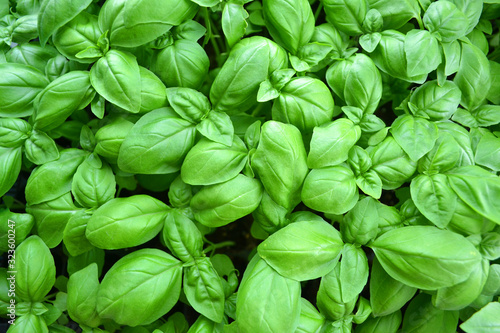 Fotografiet Cultivated basil plants from above, basil leaves