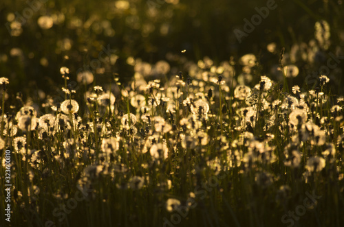 Fényképezés Delightful spring landscape with an evening dandelion meadow lit by the setting