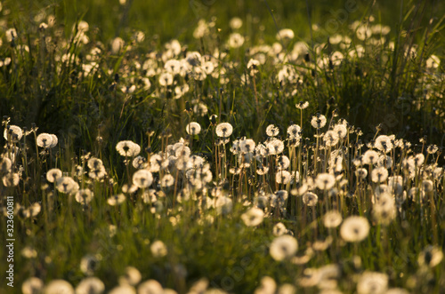 Beautiful spring landscape of an evening meadow with lots of white fluffy dandel Tapéta, Fotótapéta
