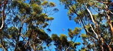 Close Up Of Eucalyptus Trees Canopies Against Blue Sky