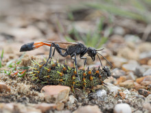 Red Banded Sand Wasp With Paralyzed Caterpillar No 2