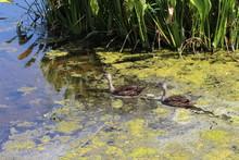 Two Mallard Ducks Swimming Away