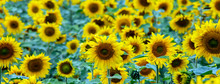Large Beautiful Field Of Sunfl...