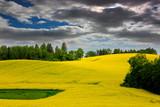 kwitnienie rzepaku na polach Mazur
