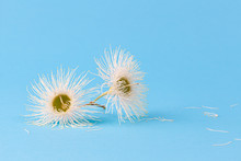 Pair Of White Eucalyptus Flowers On Light Blue Background With Copy Space