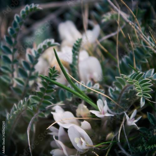 Astragalus Canvas Print