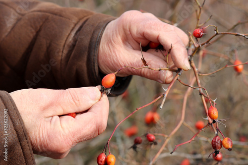 Rosehip fruit, male hands and dog rose bush, berry picking Canvas Print