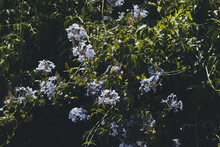 Blue Plumbago Climber Plant Gr...