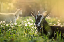 Black Goats Eating Grass Outdo...