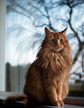 Ginger Tom Cat Sitting On Window Sill With Wispy Beech Tree In Background.