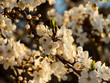 Close up of white flower from branch full of blooming white flowers in a golden hour in the spring