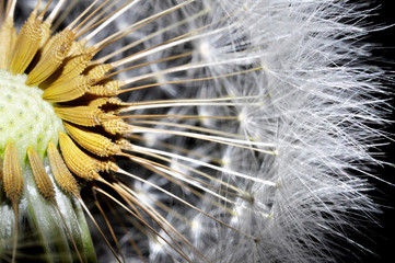 Fototapeta Dmuchawce Close Up on a Dandelion.