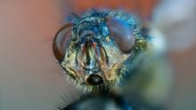 Macro Photo  Fly Head
