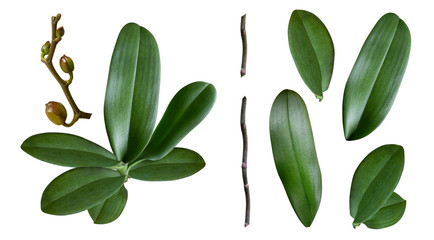 a set of orchid leaves, stem, branch and buds isolated