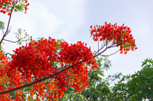 Flam Boyant, The Flame Tree, Royal Poinciana Flower Buds And The Flowers Bloom Beautifully On The Tree .