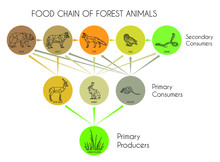 Food Chain Of Forest Animals. ...