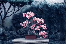 Pink Blooming Camellia In A Pot. Chinese-style Garden Corner. Flowering Camellia Bush. Small Decorative Plant. A Sample Of Landscape Art In China. Chinese Gardening And Landscaping