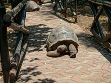 Huge Tortoise Crawls Along A ...