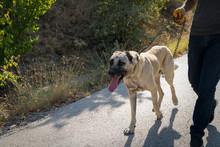 Man Walk With Anatolian Shepherd Dog (Sivas Kangal Kopek, Kopegi)
