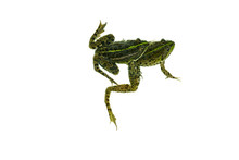 Two Common Green Frog Isolated...