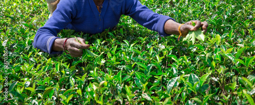 Obraz na plátně Nuwara Eliya,SRI LANKA  Female tea picker in tea plantation
