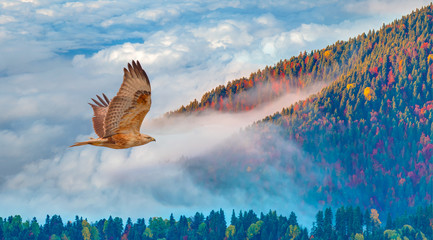 Panel Szklany Drzewa Aerial view of autumn forest over the clouds with red tailed hawk - Yedigoller , Turkey