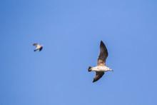 Seagull (Larus Argentatus) Fly...
