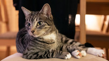Domestic Cat Looking To The Left And Sitting On A Chair In A Calm, Relaxed Position; Adorable, Young Short-hair Mackerel Tabby Feline Pet In The Home Environment Chilling On A Favorite Chair