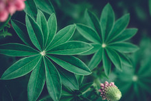 Summer Background With Beautiful Fan Shaped Lupine Leaves At Dusk. Moody Bold Colors. Abstract Blurred Natural Background With Copy Space