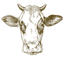 Cow. Hand Drawn Vector Illustr...