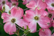 Pink Dogwood Tree In Full Bloom