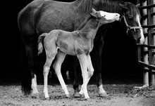 Close Up Of Newborn Colt Foal With Mare On Horse Farm In Black And White.