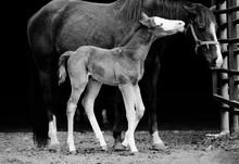 Close Up Of Newborn Colt Foal ...
