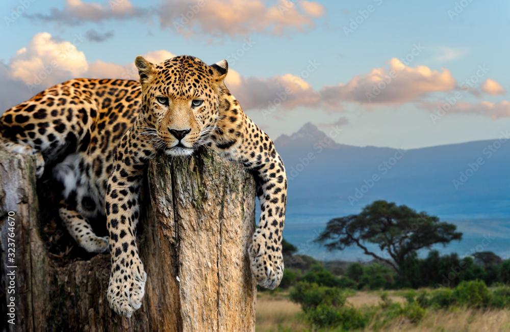 Fototapeta Leopard sitting on a tree
