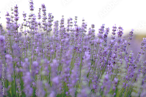 lavender field blooms against the lake #323766209
