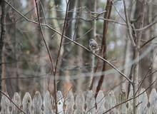 Northern Mockingbird In Tree